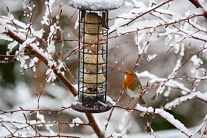 Robin (Erithacus rubecula) at feeder in garden, perched on snow covered branches. Ambleside, Lake District National Park, England, UK. February 2020.  -  Ashley Cooper