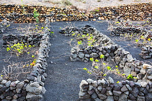Traditional sheltered vineyard with rock walls to protect vines from strong winds, growing on volcanic soil. Lanzarote, Canary Islands, Spain. November 2019.  -  Ashley Cooper