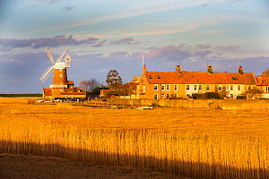 Windmill and houses in village viewed across Common reed (Phragmites australis) reedbed, in evening light. Cley, Norfolk, England, UK. March 2020.  -  Ashley Cooper