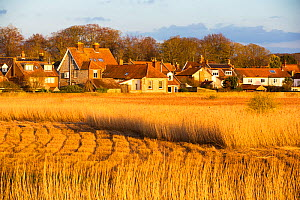 Common reed (Phragmites australis) reedbed partly harvested, in evening light, village of Cley in background. Norfolk, England, UK. March 2020.  -  Ashley Cooper