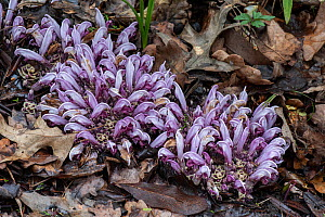 Purple toothwort (Lathraea squamaria), parasitic on roots of Oak (Quercus sp). In botanic garden, Surrey, England, UK. March.  -  Adrian Davies