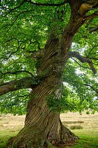 Sweet chestnut (Castanea sativa), ancient tree with twisted bark. Sussex, England, UK. September.  -  Adrian Davies