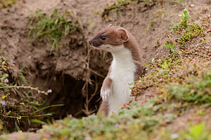 Stoat (Mustela erminea) poking its head out of its burrow. Suffolk, England, UK. June  -  Oscar Dewhurst