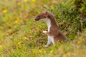 Stoat (Mustela erminea) poking its head out of its burrow in a grass bank. Suffolk, England, UK. June.  -  Oscar Dewhurst