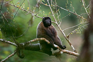 Grey woolly monkey (Lagothrix cana) sitting in the Peruvian cloud forest. Cusco, Peru. September.  -  Oscar Dewhurst
