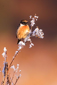 European stonechat (Saxicola rubicola) perched on frost-covered branch. London, England, UK. December.  -  Oscar Dewhurst