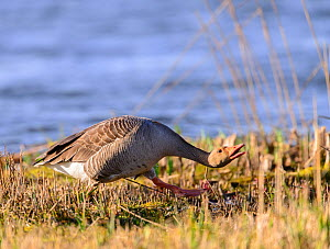 Greylag goose (Anser anser) chasing another greylag away from its territory. Suffolk, England, UK. March  -  Oscar Dewhurst
