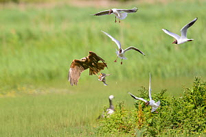 Western marsh harrier (Circus aeruginosus) being mobbed by black-headed gulls (Chroicocephalus ridibundus) as it takes off with chick. Suffolk, England, UK. June  -  Oscar Dewhurst