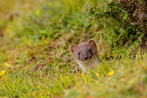 Stoat (Mustela erminea) poking its head out of its burrow in a grass bank. Suffolk, England, UK. June  -  Oscar Dewhurst