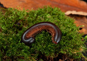 Giant African pink-footed millipede (Archispirostreptus gigas) on moss, under normal light. Captive, occuring in Eastern Africa and Southern Arabia. Sequence 1/2.  -  Adrian Davies
