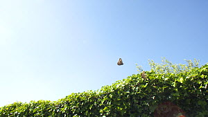 Two male Speckled wood butterflies (Pararge aegeria) engaging in territorial combat, Bristol, UK, April.  -  John Waters