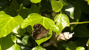 Speckled wood butterfly (Pararge aegeria) resting on ivy before flying away, Bristol, UK, April.  -  John Waters