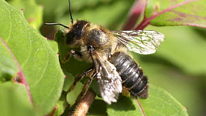 Leafcutter bee (Megachile centuncularis) cleaning its attennas  before flying away with a Fuchsia (Fuchsia triphylla) leaf, Bristol, UK, July.  -  John Waters