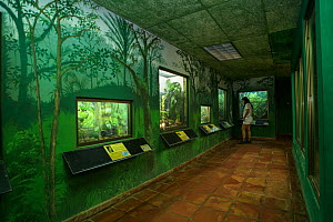 Visitor looking at the amphibian displays at the Panama Amphibian Rescue and Conservation Project Center, El Valle de Anton, Panama.  -  Emanuele Biggi