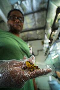 Edgardo Griffith holding a Harlequin frog (Atelopus varius) in captivity at the El Valle de Anton Conservation Centre (EVACC), Panama. Critically endangered. EDITORIAL USE ONLY.  -  Emanuele Biggi
