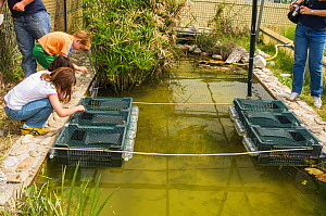 Children looking into submerged crates containing European terrapins (Emys orbicularis ingauna) captive-bred for release during an open day at Life Emys Project, Centro Emys, Albenga, Savona, Italy. M...  -  Emanuele Biggi