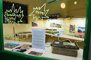 Zoo exhibit about the Deserta Grande wolf spiders (Hogna ingens) with breeding sub-adults from the wild, part of a captive breeding program. Bristol, UK.  -  Emanuele Biggi