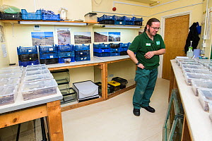 Mark Bushell in a laboratory with Deserta Grande wolf spiders (Hogna ingens) in rearing tanks, part of a captive breeding program, Bristol Zoo Gardens, Bristol, UK. These are the first captive-bred su...  -  Emanuele Biggi