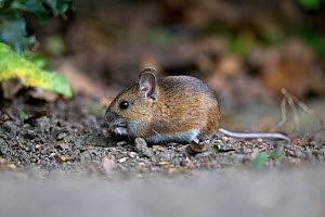 Wood mouse (Apodemus sylvaticus) feeding. Norwich, Norfolk, England, UK. May.  -  Robin Chittenden