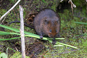 Water vole (Arvicola amphibius) feeding on grass. Norwich, Norfolk, England, UK. May.  -  Robin Chittenden