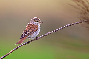 Red-backed shrike (Lanius collurio) perched on branch. Waxham, Norfolk, England, UK. September.  -  Robin Chittenden