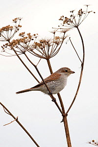 Red-backed shrike (Lanius collurio) perched on Umbellifer (Apiaceae) stem. Waxham, Norfolk, England, UK. September.  -  Robin Chittenden