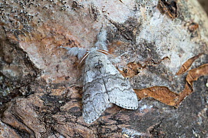 Pale tussock moth (Calliteara pudibunda) resting on bark. Norwich, Norfolk, England, UK. May.  -  Robin Chittenden