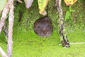 Water vole (Arvicola amphibius) looking out of hole in root curtain covered with Duckweed (Lemna sp). Norwich, Norfolk, England, UK. May.  -  Robin Chittenden