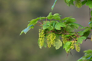 Sycamore (Acer pseudoplatanus) flowering. Thorpe Marshes, Norwich, Norfolk, England, UK. April.  -  Robin Chittenden