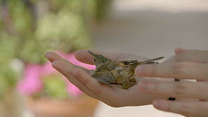 Slow motion shot of Reed warbler (Acrocephalus scirpaceus) being released and flying out of human hands, Ebro Delta, Tarragona, Spain, June.  -  David Perpinan