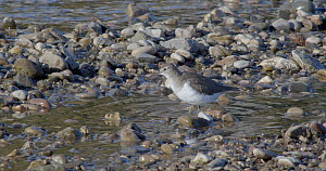 Common sandpiper (Actitis hypoleucos) searching for food in a river, Barcelona, Spain, November.  -  David Perpinan