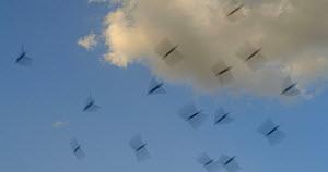 Swifts (Apus apus) flying, Cuenca, Spain, July.  -  David Perpinan
