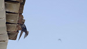 Swift (Apus apus) entering nest in the roof of a rural house, Cuenca, Spain, July.  -  David Perpinan