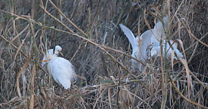 Group of Cattle egrets (Bubulcus ibis) roosting in giant canes, Barcelona, Spain, February.  -  David Perpinan