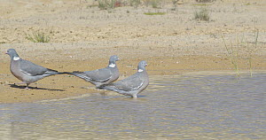 Three Common wood pigeon (Columba palumbus) drinking, Cuenca, Spain, June.  -  David Perpinan