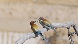Male European bee-eater (Merops apiaster) leaving perch, capturing insect and then offering it to female, Cuenca, Spain, June.  -  David Perpinan