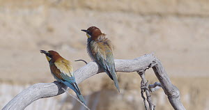 Male European bee-eater (Merops apiaster) lands with insect, transfers it to female before flying away, Cuenca, Spain, June.  -  David Perpinan