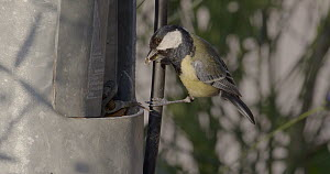 Great tit (Parus major) visiting nest located in broken street light to feed chicks, Barcelona, Spain, May.  -  David Perpinan