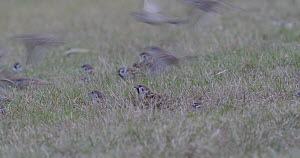 Group of Tree sparrows (Passer montanus) feeding on the ground of an urban park, Barcelona, Spain, November.  -  David Perpinan