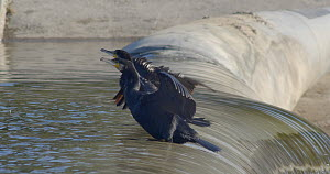 Two Great cormorants (Phalacrocorax carbo) drying their wings, another tries to join but falls down the dam, Barcelona, Spain, November.  -  David Perpinan