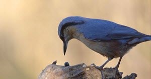 Eurasian nuthatch (Sitta europaea) landing on log with sunflower seed in beak, places it on log and attempts to crack it open, Barcelona, Spain, November.  -  David Perpinan