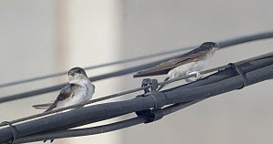 Group of Common house martins (Delichon urbicum) preening on cable, Cuenca, Spain, August. Migration.  -  David Perpinan