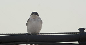 Common house martin (Delichon urbicum) perched on a cable and then flies away, Cuenca, Spain, August.  -  David Perpinan