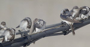 Group of Common house martins (Delichon urbicum) preening on cable, Cuenca, Spain, August.  -  David Perpinan
