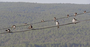 Common house martins (Delichon urbicum) perched on a cable, Cuenca, Spain, August.  -  David Perpinan