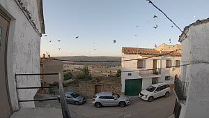 Wide shot of Common house martins (Delichon urbicum) gathering in village for Autumn migration, Cuenca, Spain, August.  -  David Perpinan