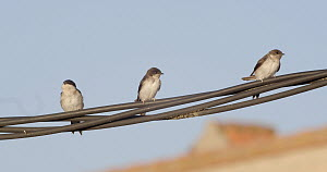 Common house martins (Delichon urbicum) perched on cable, Cuenca, Spain, August.  -  David Perpinan