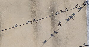 Common house martins (Delichon urbicum) perched on cables, Cuenca, Spain, August.  -  David Perpinan