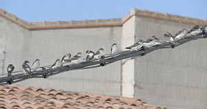 Group of Common house martins (Delichon urbicum) perched on a cable, Cuenca, Spain, August.  -  David Perpinan