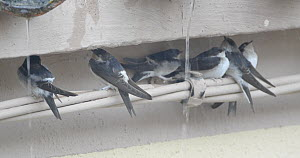 Group of Common house martins (Delichon urbicum) resting under cover while it rains, Cuenca, Spain, August.  -  David Perpinan